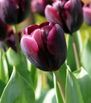 Tulp Recreado