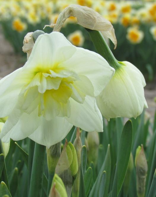 Narcis Papillon Blanc