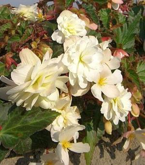 Begonia Illumination wit