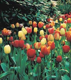 Darwin Hybrid Tulpen Gemengd