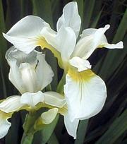 Iris Siberica Snow Queen