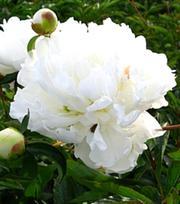 Paeonia (Pioenroos) Duchesse De Nemours