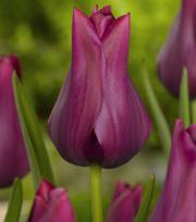 Tulp Merlot