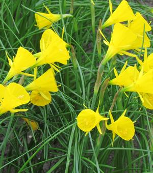 Narcis Golden Bells