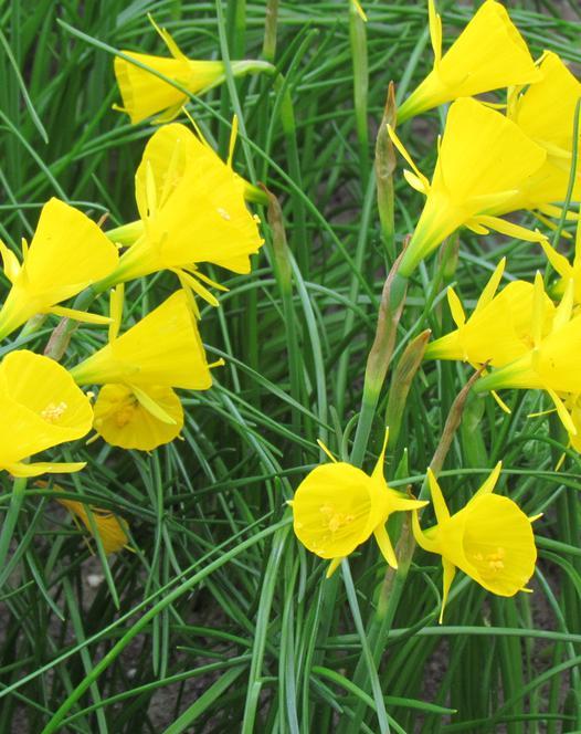 Narcis Golden Bells
