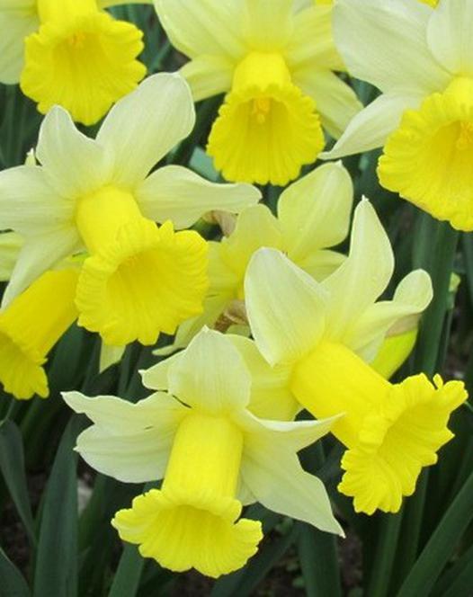 Narcis Peeping Jenny