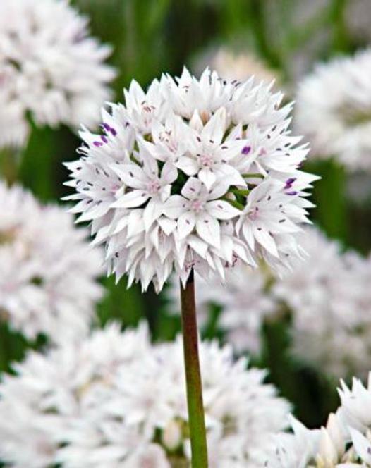 Allium Graceful (Amplectens)