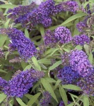 Buddleja Empire Blue - P9 (Vlinderstruik)
