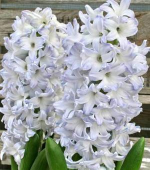 Hyacint Blue Eyes