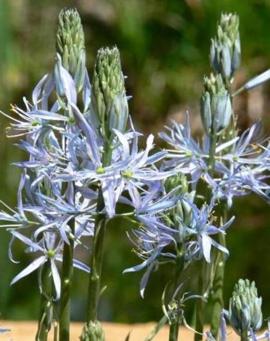 Camassia Blue Heaven