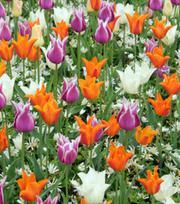 Tulpen - Leliebloemig Gemengd