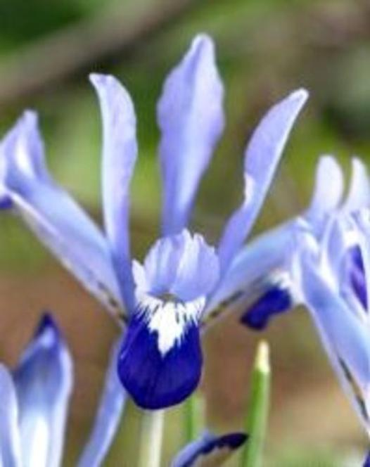 Iris Iris Reticulata Clairette