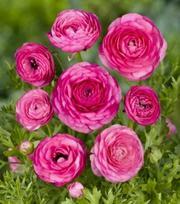 Ranunculus Aviv Donker Roze