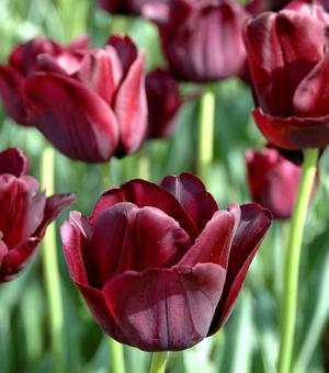 Afgebeeld Tulip Black Jack