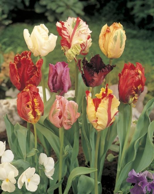 Papegaai Tulpen Gemengd