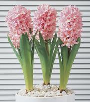 Geprepareerde Hyacint Anne Marie
