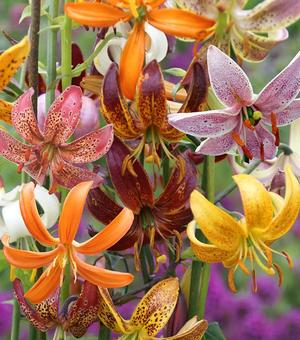Lilium Martagon Species Mixture