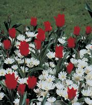 Tulp Red Riding Hood (Roodkapje)