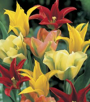 Viridiflora Tulpen Gemengd