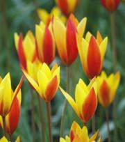 Tulp Chrysantha