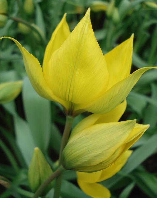 Tulp Sylvestris (De Bostulp)