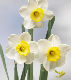 Narcis Fragrant Breeze