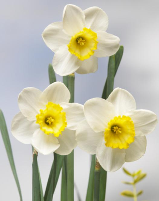 Narcis Fragrant Breeze