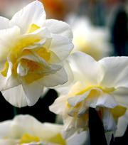 Narcis White Lion