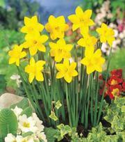 Narcis Sweetness
