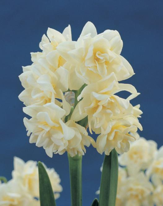Binnen Bloeiende Narcis Erlicheer