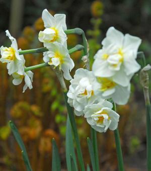 Narcis Cheerfulness