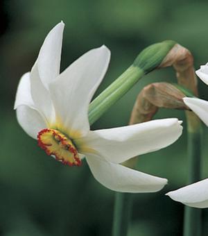 Narcis Recurvus