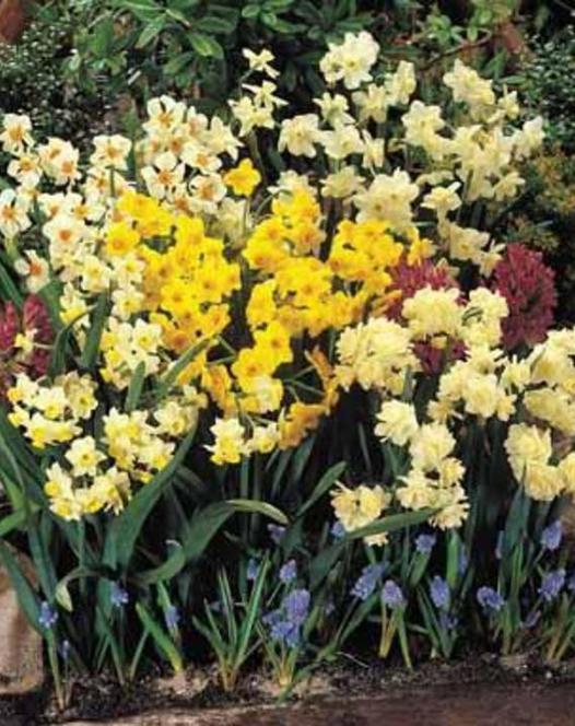 Kleinbloemige Narcissen Gemengd