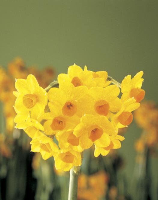 Binnen Bloeiende Narcis Grand Soleil D'Or