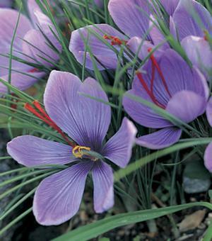 Najaars Crocus Sativus (Saffron Crocus)