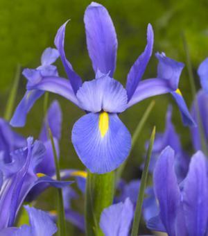 Iris Sapphire Beauty