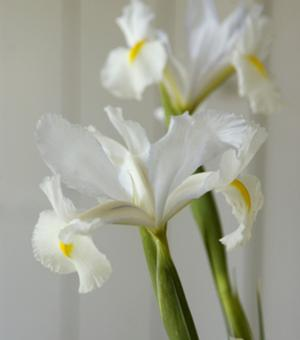 Iris White Bridge