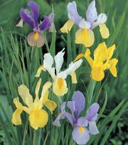 Iris Iris Gemengd