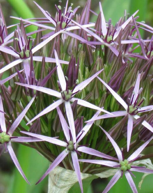 Allium Christophii (Albopilosum)