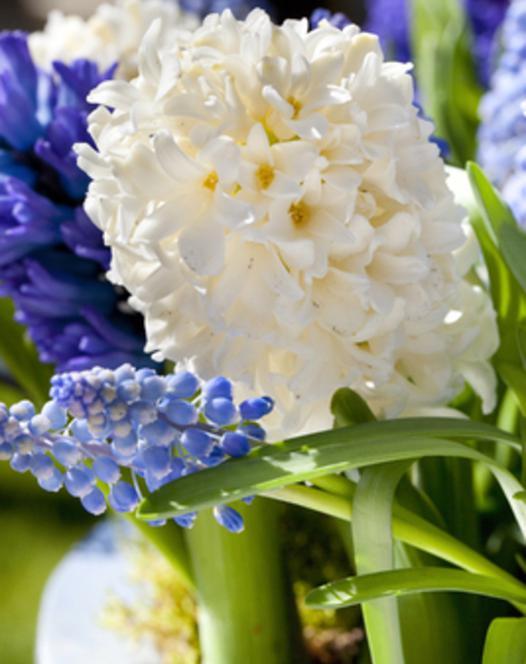 Hyacint Aiolos