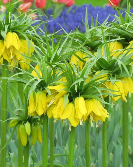 Fritillaria Imperials Lutea