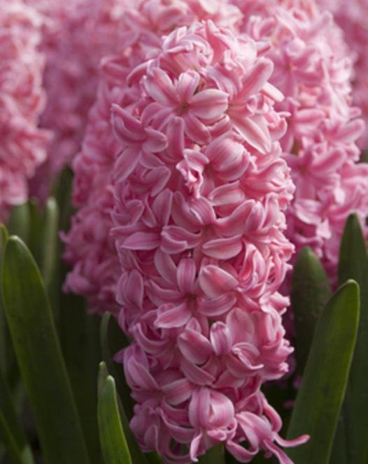 Hyacint Pink Pearl