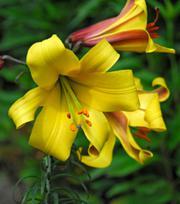 Lelie Golden Splendour