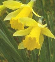 Narcis Lobularis