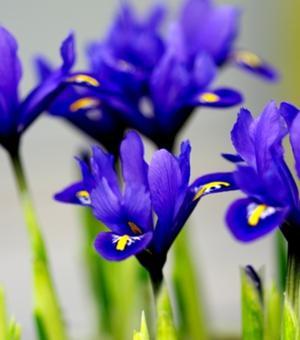 Iris Harmony