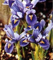 Iris Joyce