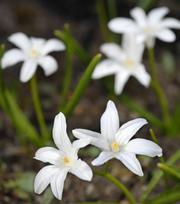 Chinodoxa Luciliae Alba