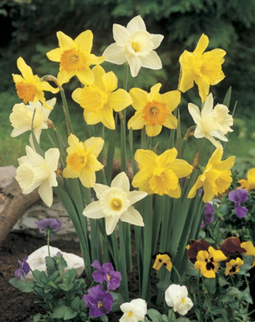 Trumpet Daffodil Mixture