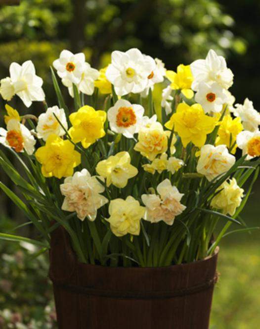 Gemengde Narcissen 25kg