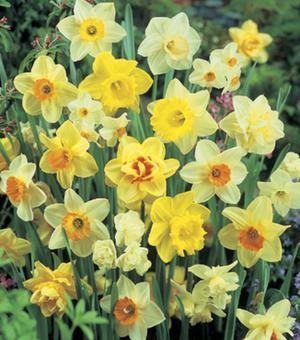 Gemengde Verwilderings Narcissen 25kg